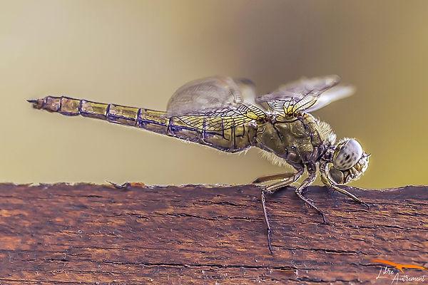 Insecte Corse