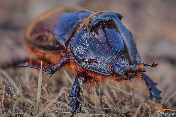 Scarabée Rhinoceros Corse