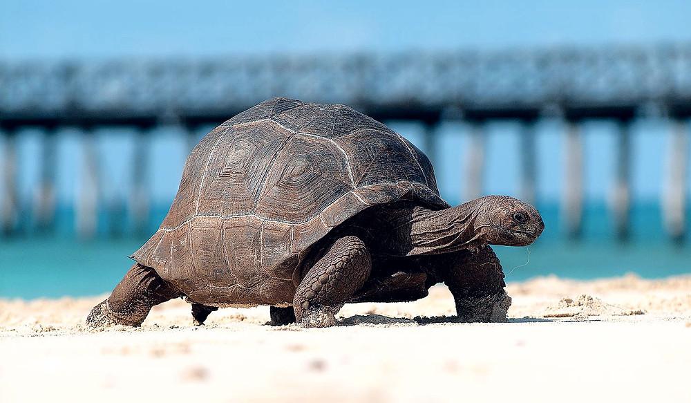 giant turtle, prison island zanzibar