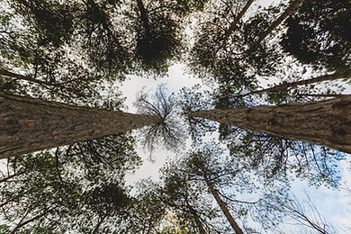 looking-up-through-pines.jpg