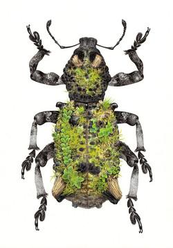 Weevil - Lithinus rufopenicillatus