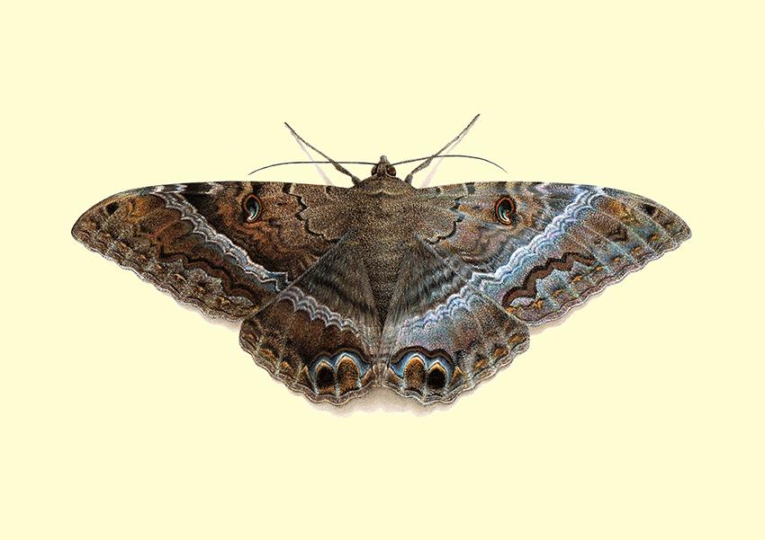 Ascalapha odorata - Black Witch
