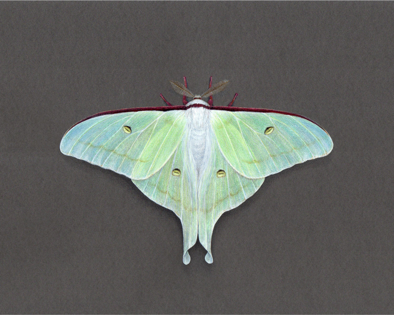 Actias artemis Japanese Moon Moth