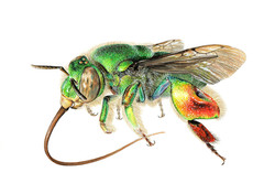 Euglossa sp. Orchid Bee