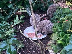 Igelbabys im Garten - welche Freude
