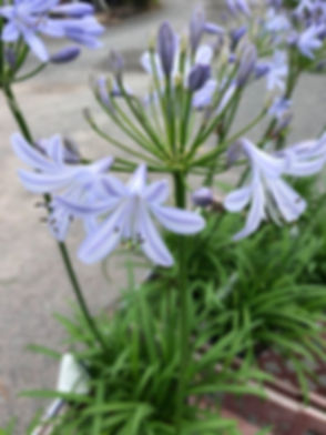 Brookfield_Flower.jpg