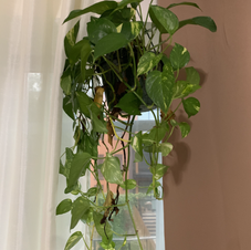 My ex left me this plant when he was moving out of his apartment to go back home for a few months. I was supposed to hold onto it and return it to him when he got back to the city but we ended up breaking up before he could come back.