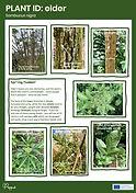 Plant ID fact file image 2.jpg