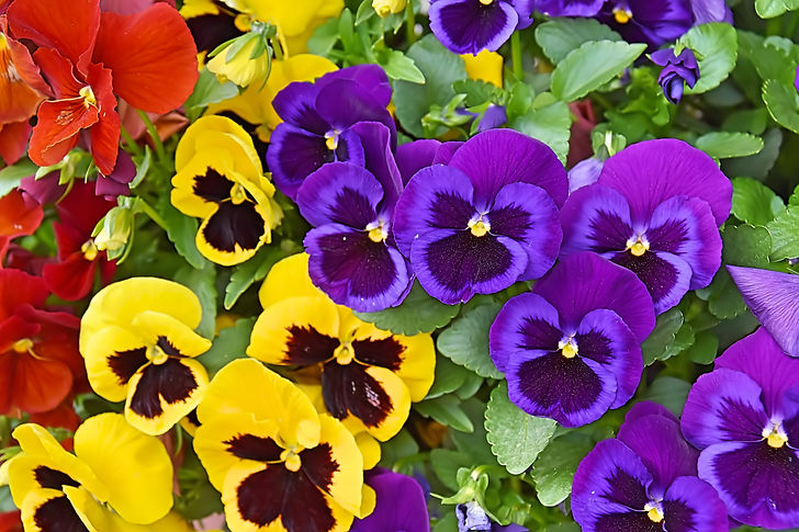 Closeup of colorful pansy flower, The garden pansy is a type of large-flowered hybrid plan