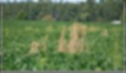 1 Dead Pigweeds in Soybean field.png