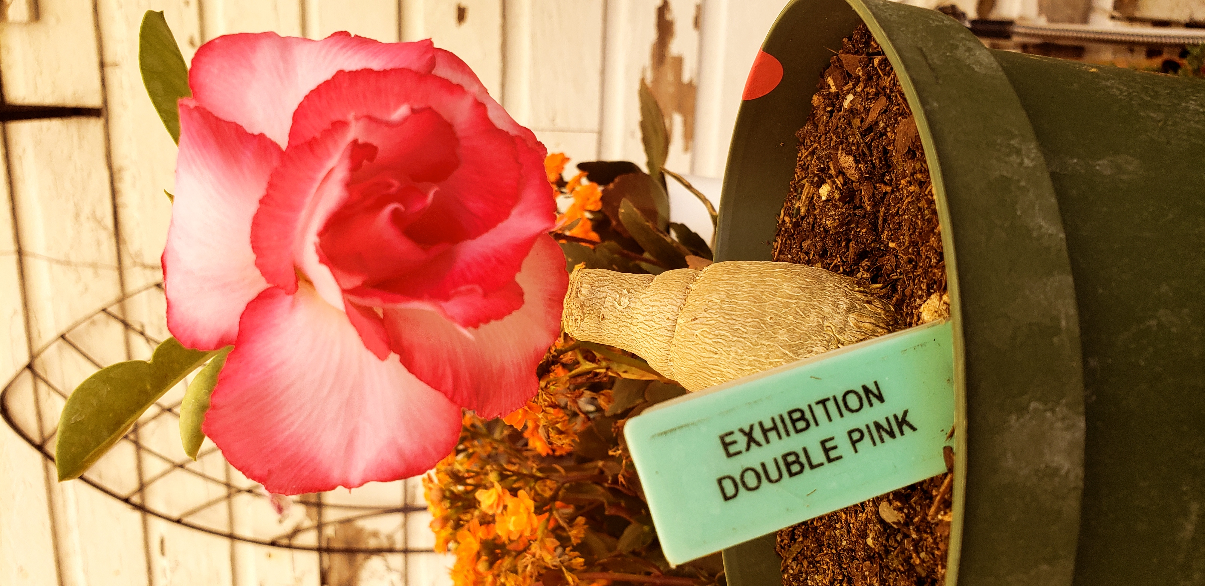 Exhifition Double Pink Desert Rose