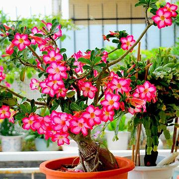 desert rose tarpon springs fl.jpg