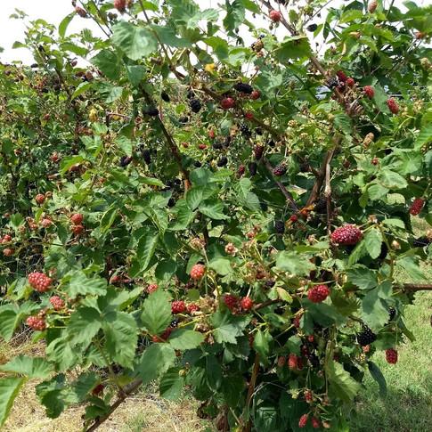Blackberries on bush Fentons Berry Farm.jpg