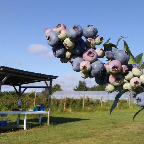 Berry booth at Fentons Berry Farm.jpg