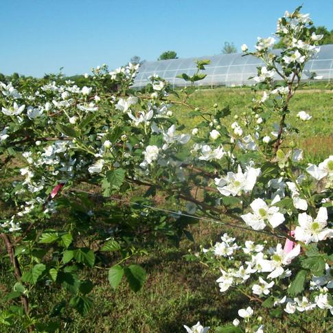 Blackberry blossoms Fentons Berry Farm.jpg