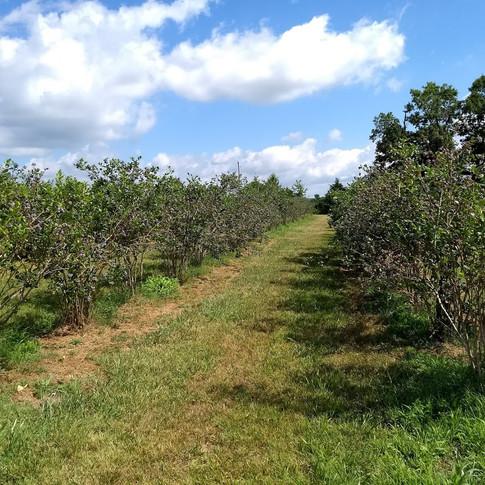 Blueberry Field 2 at Fentons Berry Farm.jpg