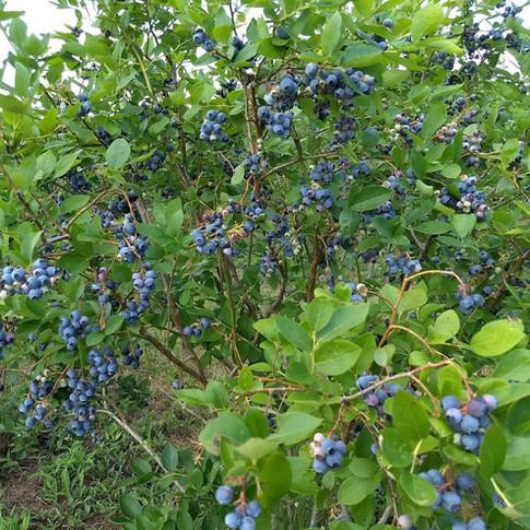 Blueberry bushes up close Fentons Berry Farm.jpg