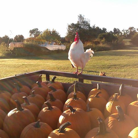 Pumpkins n rooster Fentons Berry Farm.jpg