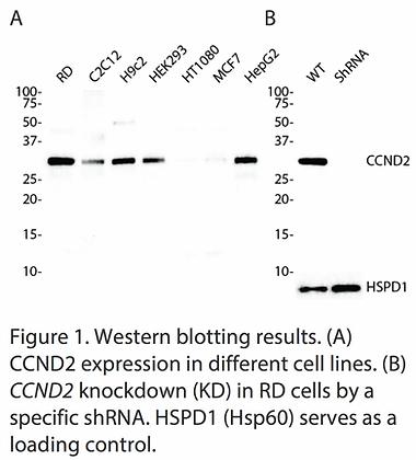 Validated CCND2 Lentiviral shRNA #V1152