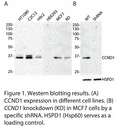 Validated CCND1 Lentiviral shRNA #V1151