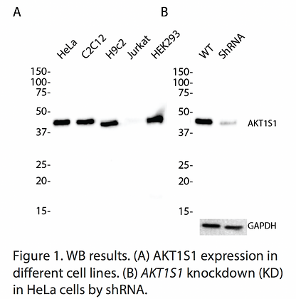 Validated AKT1S1 Lentiviral shRNA #V1477