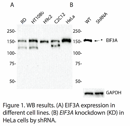 Anti-EIF3A Rabbit Monoclonal Ab #2321