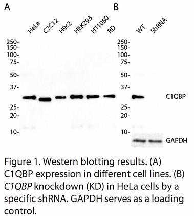 Validated C1QBP Lentiviral shRNA #V1166