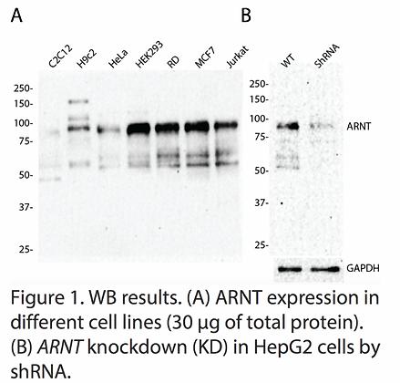 Anti-ARNT Rabbit Polyclonal Ab #1657