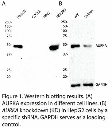 Validated AURKA Lentiviral shRNA #V1761