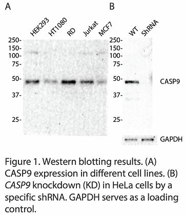 Validated CASP9 Lentiviral shRNA #V1179