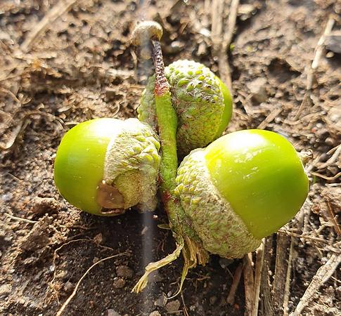 Sacred acorns.png