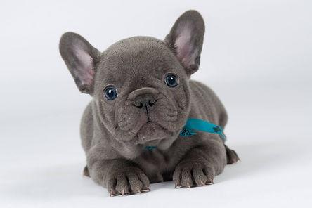 Blauwe bulldog.jpg