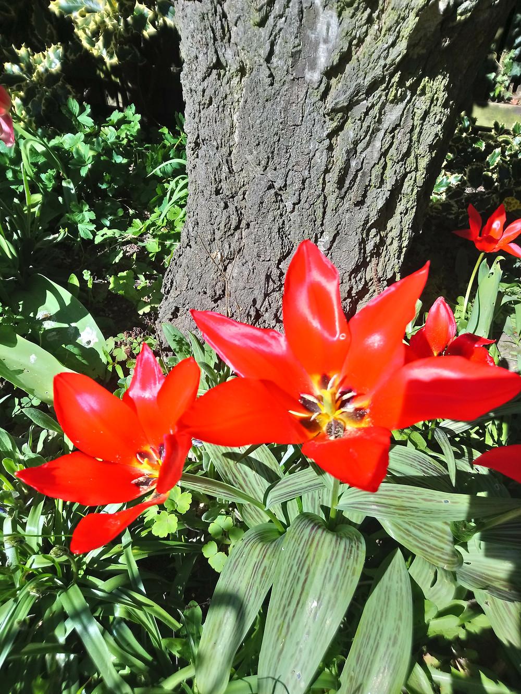 Garden Tulips, Red Tulips