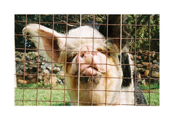 Pig, DARG Hout Bay 2015