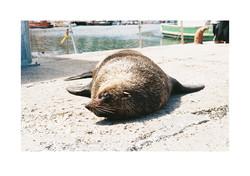 Seal, Kalk Bay Harbour 2015