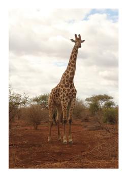 Giraffe, Kruger Park 2016
