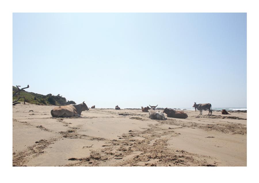 Cows 2, Transkei 2015