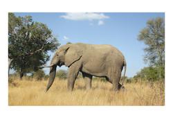 Elephant, Kruger Park 2016