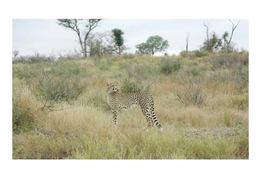 Cheetah, Kruger Park 2015