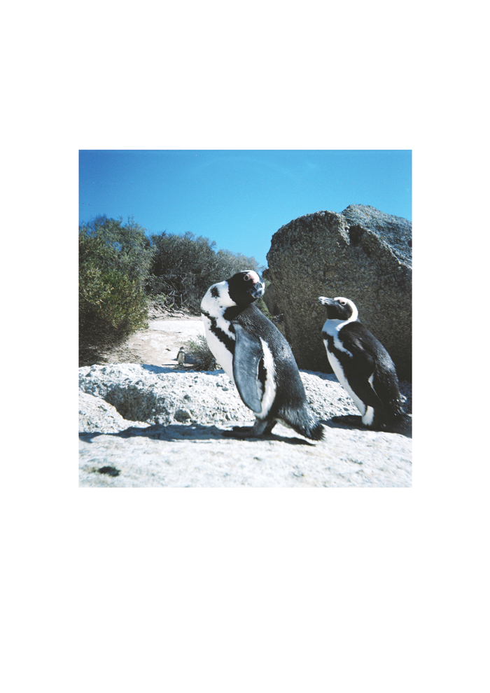 Penguins, Boulders 2011