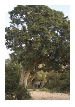 Elephant Tree Trunk Kruger Park 2016