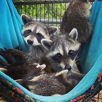 Raccoon%20in%20Hammock_edited.jpg
