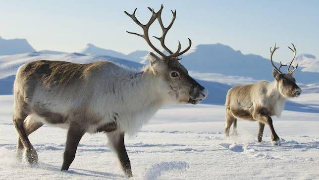 Rensdyr lever enkeltvis eller i mindre flokke langs Vestkysten og i Thuleområdet.