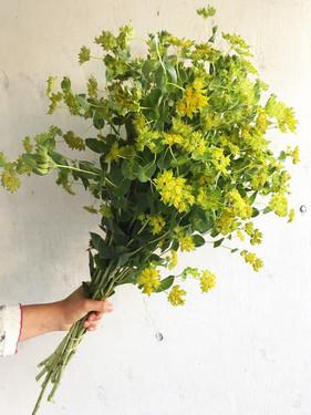 Bupleurum-Green-Gold