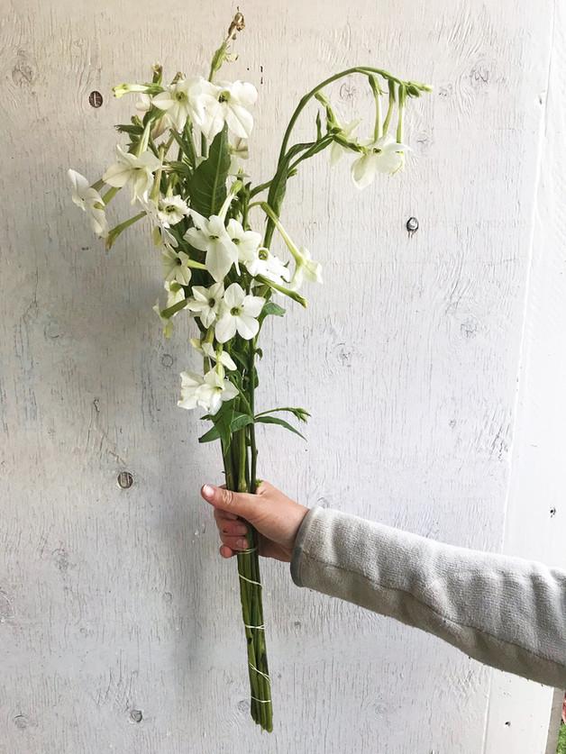 Nicotiana-Grandiflora