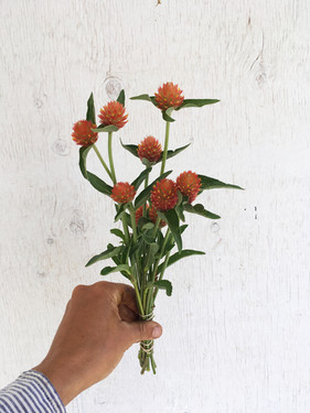 Gomphrena-Orange
