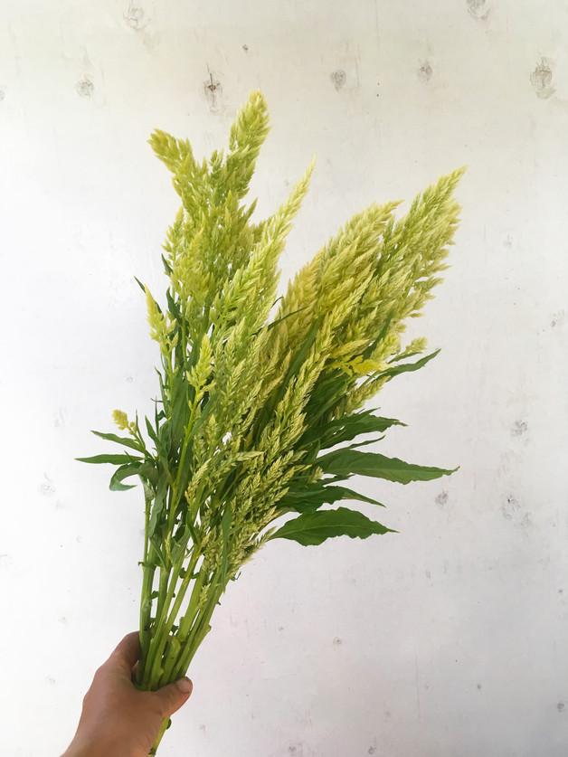 Celosia-Sylphid