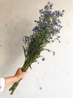 Cynoglossum-Blue-Showers