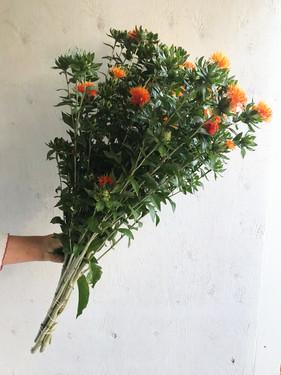 Safflower-Superior-Orange