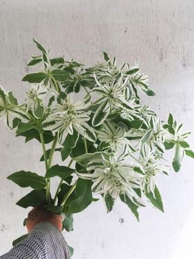 Euphorbia-Snow-on-the-Mountain